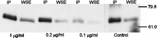Immunoprecipitation - Anti-Menin antibody (ab4452)