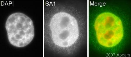 Immunocytochemistry/ Immunofluorescence - SA1 antibody (ab4455)