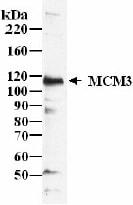 Western blot - Anti-MCM3 antibody - ChIP Grade (ab4460)