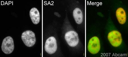 Immunocytochemistry/ Immunofluorescence - SA2 antibody (ab4463)