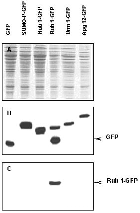 Western blot - Nedd8 antibody (ab4751)