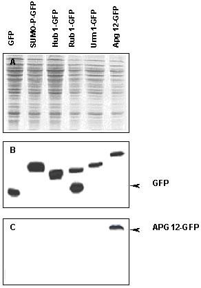 Western blot - Apg12 antibody (ab4752)