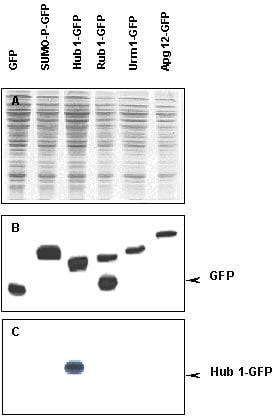 Western blot - Hub1 antibody (ab4754)