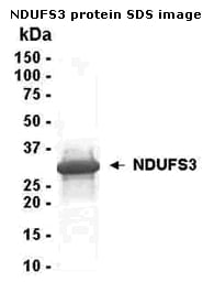 SDS-PAGE - NDUFS3 protein (ab40226)