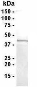 SDS-PAGE - HspBP1 protein (ab40659)