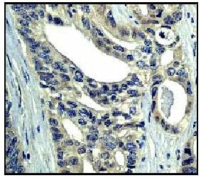 Anti-GAP [EP536Y] antibody (ab40677)