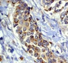 Immunohistochemistry - Anti-RASA1 antibody (ab40807)