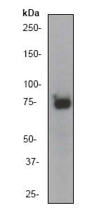 Western blot - Glycogen synthase 1 antibody [EP817Y] (ab40810)