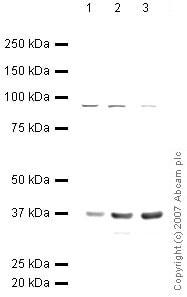 Western blot - Annexin II antibody (ab40943)