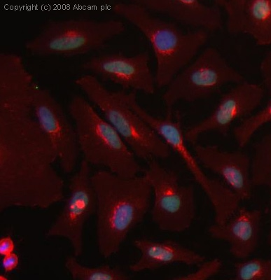 Immunocytochemistry/ Immunofluorescence - Histone H2B (acetyl K11) antibody (ab40975)