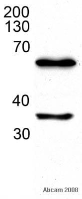 Western blot - HDAC1 antibody (ab41407)