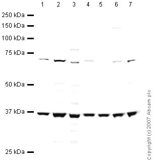 Western blot - EIF3S2 antibody (ab41641)