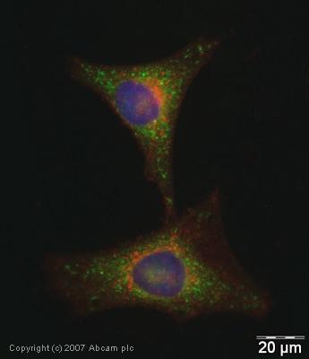 Immunocytochemistry/ Immunofluorescence - Glutathione Peroxidase 4 antibody (ab41787)