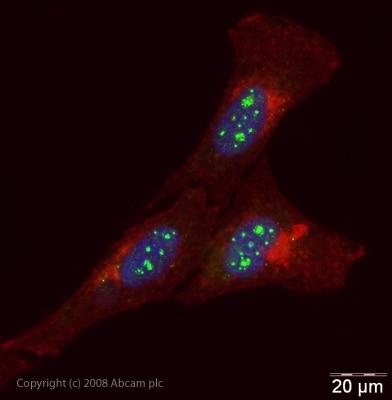 Immunocytochemistry/ Immunofluorescence - NFIA antibody (ab41851)