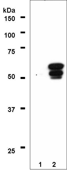 Western blot - PPAR gamma 1+2  antibody [A3409A] - ChIP Grade (ab41928)