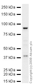 Western blot - FGFR4 antibody (ab41948)
