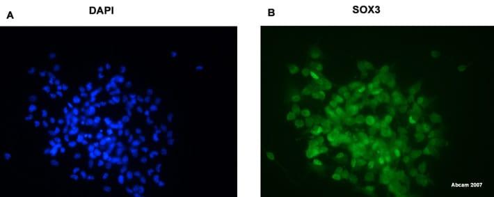 Immunocytochemistry - SOX3 antibody (ab42471)
