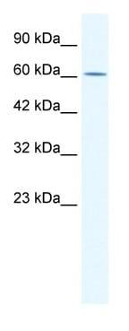 Western blot - ZNF182 antibody (ab42480)