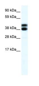 Western blot - RFP2 antibody (ab42502)