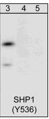 Western blot - SHP1 peptide (ab42773)