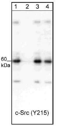 Western blot - Src peptide (ab42782)