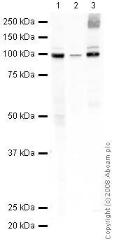Western blot - VAP1 antibody (ab42885)
