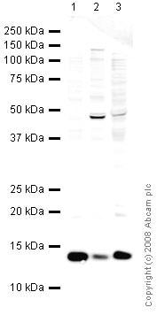 Western blot - Cellubrevin antibody (ab43080)