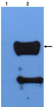 Western blot - CREB antibody (ab43126)