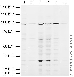 Western blot - SP100 antibody (ab43151)