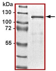 Western blot - STAT3 protein (ab43618)