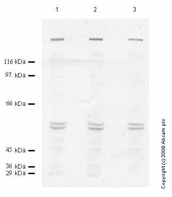 Western blot - ADAMTS7 antibody - Propeptide domain (ab45044)