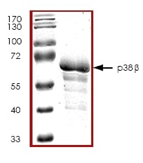 SDS-PAGE - MAPK11 protein (ab45159)