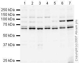 Western blot - hnRNP L antibody (ab45317)