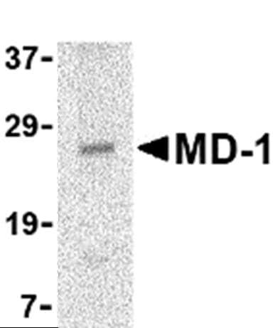 Western blot - MD1 antibody (ab45424)