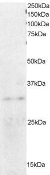 Western blot - ORC6L antibody (ab45438)
