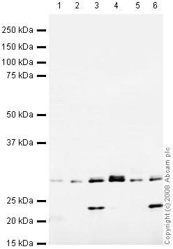 Western blot - Nmnat1  antibody (ab45548)