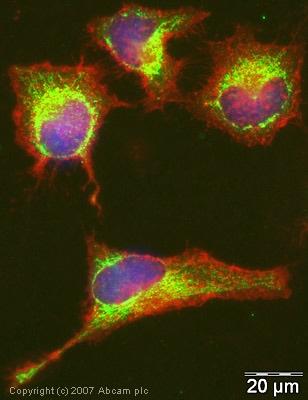 Immunocytochemistry/ Immunofluorescence - Glutaredoxin 1 antibody (ab45953)