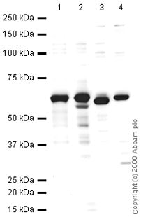 Western blot - Liver Carboxylesterase 1 antibody (ab45957)