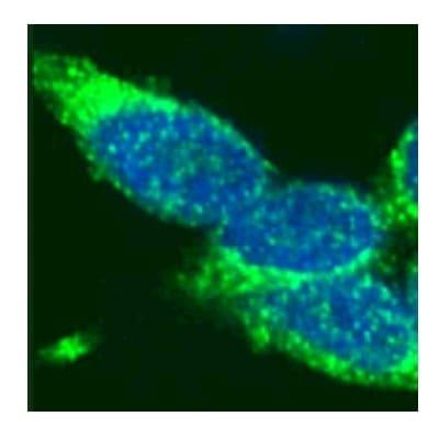 Immunocytochemistry/ Immunofluorescence - Rad51 antibody (ab46981)