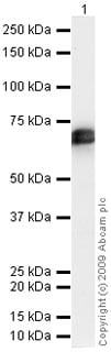 Western blot - TPA Tissue Plasminogen Activator antibody (ab47033)