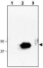 Western blot - RNF34 antibody (ab47255)