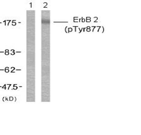 Western blot - ErbB 2 (phospho Y877) antibody (ab47262)