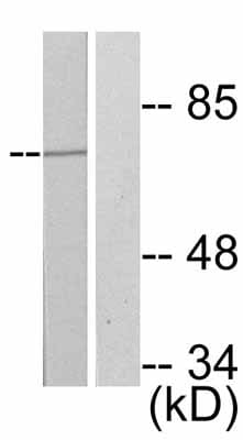 Western blot - FOXO4 (phospho S197) antibody (ab47278)