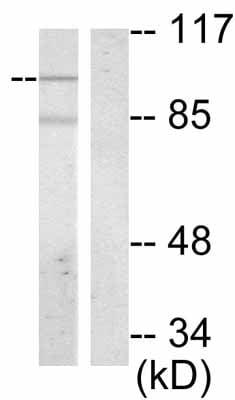 Western blot - Vav proteins (phospho Y174) antibody (ab47282)