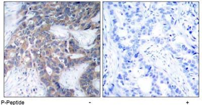 Immunohistochemistry (Paraffin-embedded sections) - MEK1 (phospho S217) antibody (ab47295)