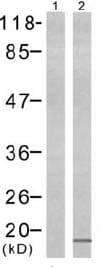 Western blot - Histone H3 (phospho S10) antibody (ab47297)