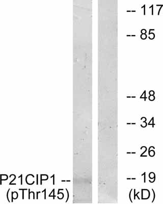 Western blot - p21 (phospho T145) antibody (ab47300)