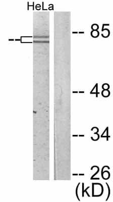 Western blot - FOXO1A (phospho S319) antibody (ab47326)