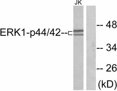 Western blot - ERK1 antibody (ab47430)