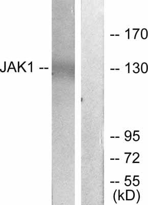 Western blot - JAK1 antibody (ab47435)